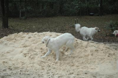 Saki (blur on right) dashing to another pyr.