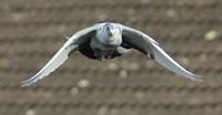 IP Pigeon